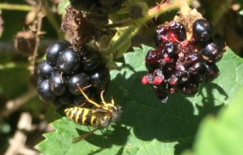 August 16...Wasps are in search of sugars. Here's one on the blackberries.