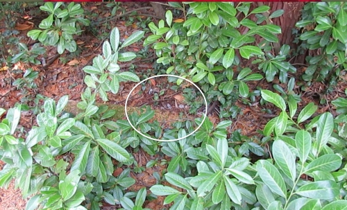 This is where the ground nest is, in the laurel hedge area. My wife discovered it when she was coaxing the cat out. Luckily, she only got stung once. In the video you can see how fast they move...at least twice as fast as a honeybee.
