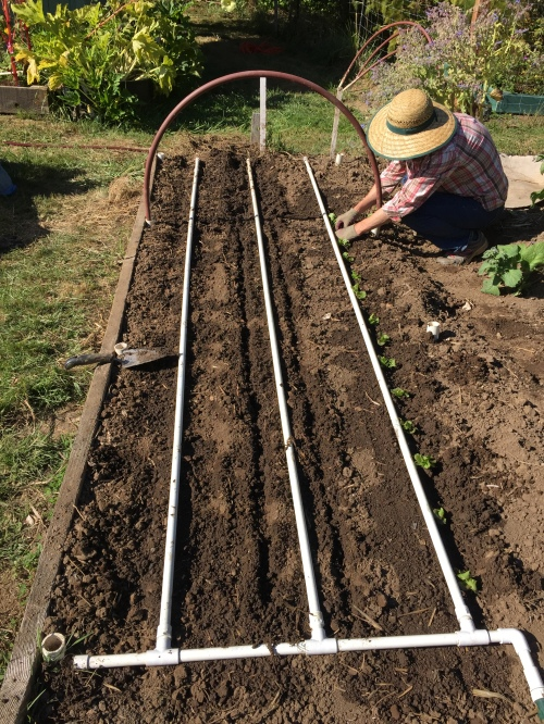 Aug. 20... Beets on left , turnips in middle, Sue plants winter lettuce on right. (Yes Pat, you did remember to put ashes under the beets.)