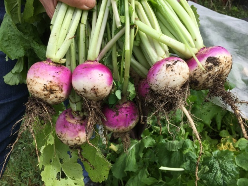 August 29...Freshly picked turnip 'thinnings.'