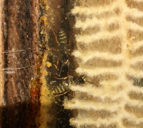 Bee-atrice log hive...Looking through the observation window, we see the final indignation...wasps are roaming at will inside. We must remove the comb. I won't kill the wasps, but I don't want to grow their numbers by feeding them honey.