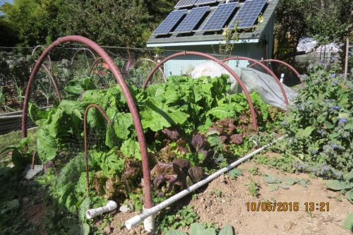 Oct. 6...Those turnips might be crowding out the lettuce, but we're happy everything is growing so well.