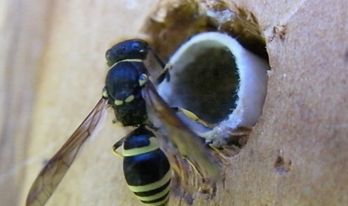 July 1...I spotted this Ancistocerus antilope wasp getting into my Mason bee tubes. I relocated them in the house immediately. I hope the wasp didn't lay many eggs in any tubes before I moved it, or I'll be hatching wasps in the back bedroom.