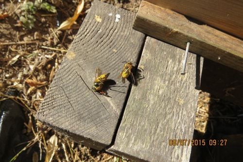 August 7...I picked up a couple of dead wasps from the pile in front of the Warre. Did the bees kill them? I doubt it. There were very few bees left.