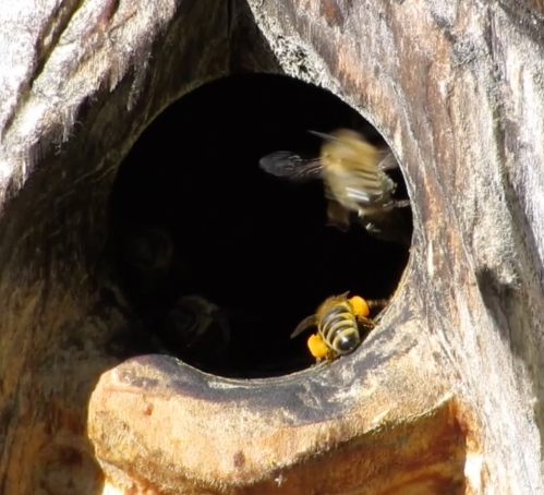 Sept. 23...Lots of good orange pollen being carried into this hive. This hive will go into winter without me intervening in any way.