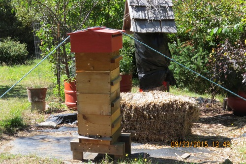 Sept. 23...I'm down to only one Warre hive now. It's doing well with lots of pollen coming in. You can see Bee-atrice Log hive 'shuttered' in the background. When the wasps were running rampant inside, I had to wrap it up. I'll clean it out (scorch it) come spring and try to attract another swarm.