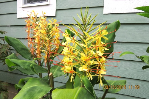 September 15...Barbara's Kahili ginger (hedychium gardnerianum) is finally flowering.