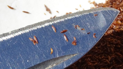 A few seeds on the knife blade show how small they are.