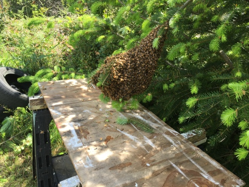 May 14...Ron got this one. He lives just up the road. I'm happy to report that Ron says they are doing well. They are active and bringing lots of pollen. They can be seen flying well here... https://drive.google.com/file/d/0Byp0gCTqCQ6rZjBJVmZOa0FJZzQ/view?usp=sharing