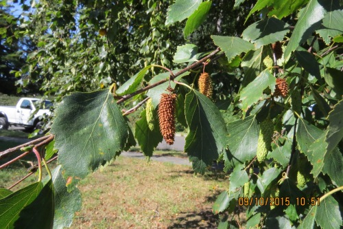 Sept. 10...The mature River Birch cones are starting to fall.