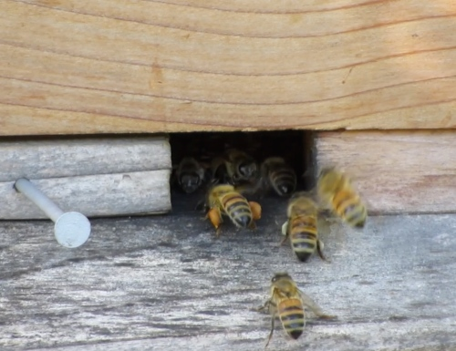 Bees head into the Warre loads of pollen. This hive is heavy. I haven't taken any honey from it. I think they will make it through the winter without me feeding.