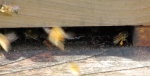 Warre 2, pollen, 12-20-15copy