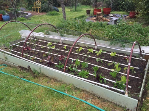2611 Lettuce, hope 1 more year bed, 4-4-16