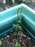 2674 Hypericum cutting growing,4-7-16JPG