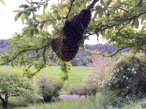 2779 Andrea's swarm, view, 4-16-16 copy