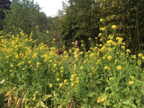 2833 Turnip flowers, 4-21-16