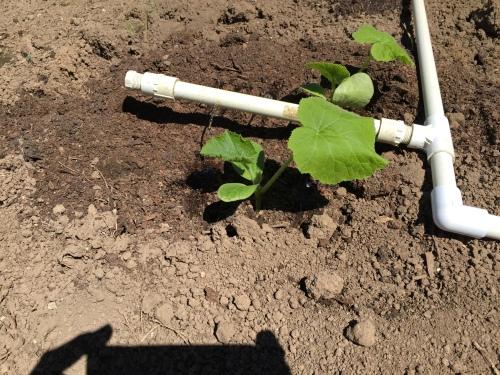 3032 Drip watering squash, 5-10-16