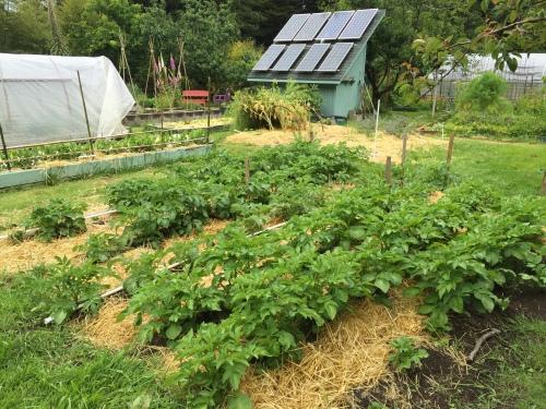 3196 Potatoes growing well, 5-22-16