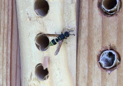 3274A Mason wasp? copy