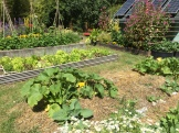 Mulch in squash, lettuce and bean bed.
