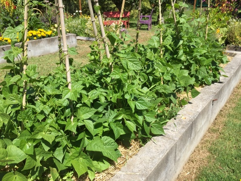 Poles beans growing nicely with drip watering pvc and lots of mulch.