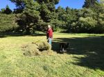 3551 Forking grass clippings, 7-5-16copy