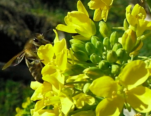 honeybee-on-turnip-blossom-jan-16-2014