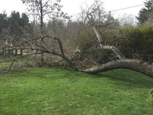 4534-toppled-tree-on-ground-2-5-17-copy