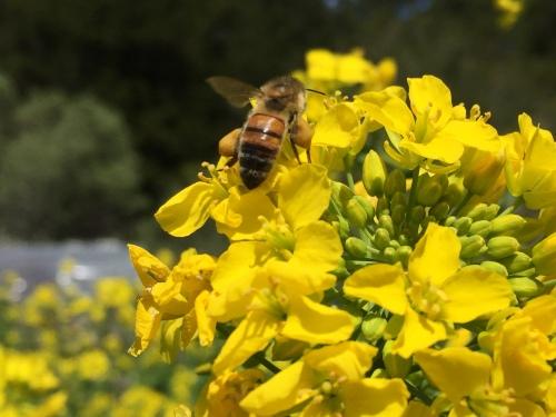 5001 Turnip flower bee,.JPG++++