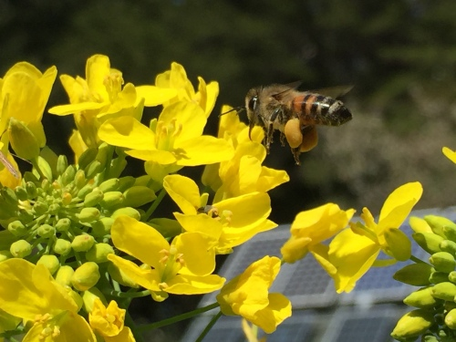 5003 Bee pollinating turnip flowers, 4-21-17.JPG+++