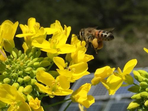 5003 Bee pollinating turnip flowers, 4-21-17.JPG+++