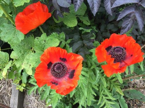 5455 Poppies, 6-1-17