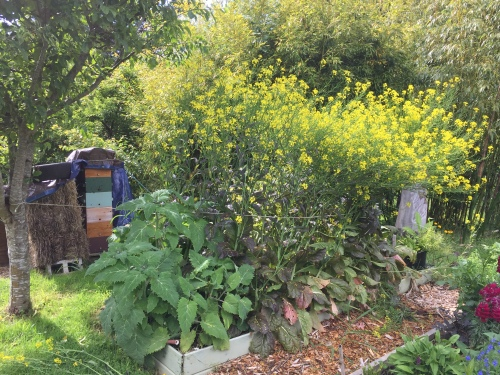 5586 Mustard still flowering, Warré hive, 6-10-17