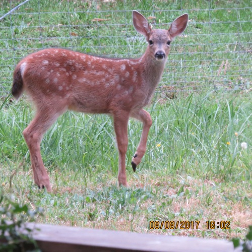 19 Baby deer, spots, 8-8-17