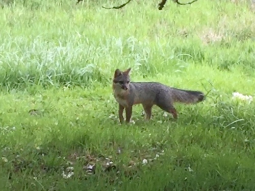 4906BB Mr. Fox came calling, 4-7-17 copy